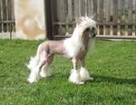 Китайская хохлатая собака на траве