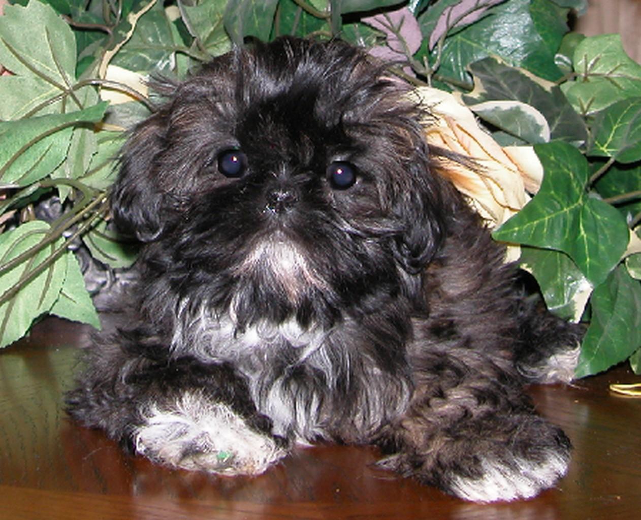 Китайская императорская собака фото