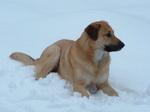 Собака чинук на снегу