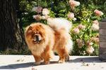 Собака чау-чау и цветы
