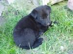 Щенок собаки сierny sery на траве