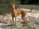 Собака чирнеко дель этна