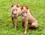 Собаки чирнеко дель этна