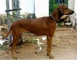 Собака combai в профиль