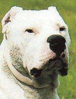 Морда кордовской бойцовой собаки