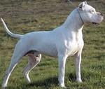 Кордовская бойцовая собака в траве