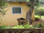 Критская гончая во дворе