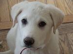 Симпатичный щенок акбаша