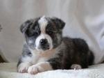 Симпатичные щенок акита-ину