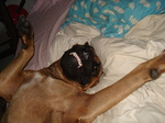 Симпатичная собака Алано