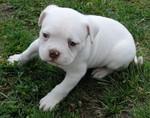 Симпатичный белый щенок американского бульдога