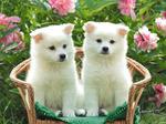 Симпатичные щенки американского эскимосского шпица