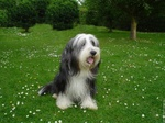 Симпатичная собака бородатый колли