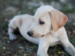 Очаровательная собака блю-лейси