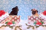 Симпатичные мопсы на День подарков