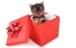 Симпатичный Йоркширский Терьер на День подарков