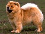 Симпатичная собака чау-чау