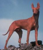 Симпатичная собака чирнеко дель этна