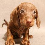 Симпатичный щенок таксы