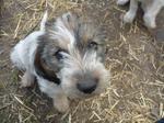 Симпатичный щенок вандейского брикет-гриффона