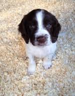 Симпатичный щенок английского спрингер-спаниеля