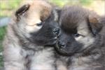 Симпатичные щенки собаки евразиер