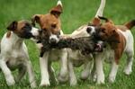 Симпатичные щенки гладкошёрстного фокстерьера