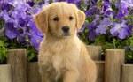 Симпатичный щенок золотистого ретривера и цветы