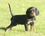 Симпатичный щенок шотландского сеттера