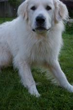 Симпатичная пиренейская горная собака
