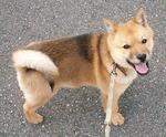 Симпатичная собака айну