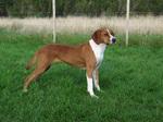 Симпатичная собака хюгенхунд