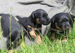 Симпатичные щенки немецкого ягдтерьера