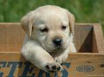 Симпатичный щенок лабрадора ретривера