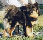 Симпатичная собака лапинпорокойра