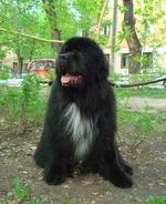 Симпатичная московская водяная собака