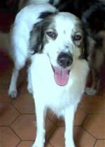 Симпатичная собака мукучиес