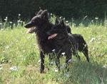 Симпатичные собаки муди