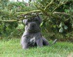 Симпатичный щенок неаполитанского мастифа