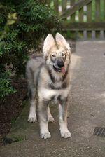 Симпатичный щенок северного инуита
