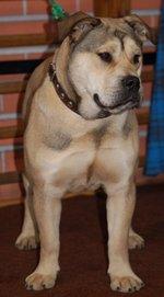 Симпатичная собака Ка де Бо