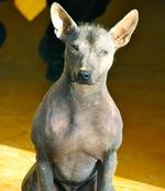 Симпатичная перуанская голая собака