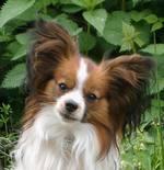Морда симпатичной собаки фален