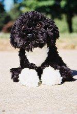 Симпатичная португальская водяная собака
