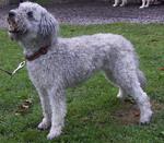 Симпатичная собака пуми