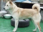 Симпатичная собака пхунсан