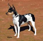 Симпатичная собака Ratonero Valenciano