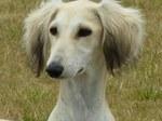 Симпатичная собака салюки