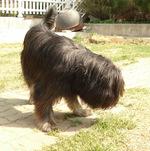 Симпатичная собака сапсари