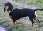 Симпатичная швейцарская собака